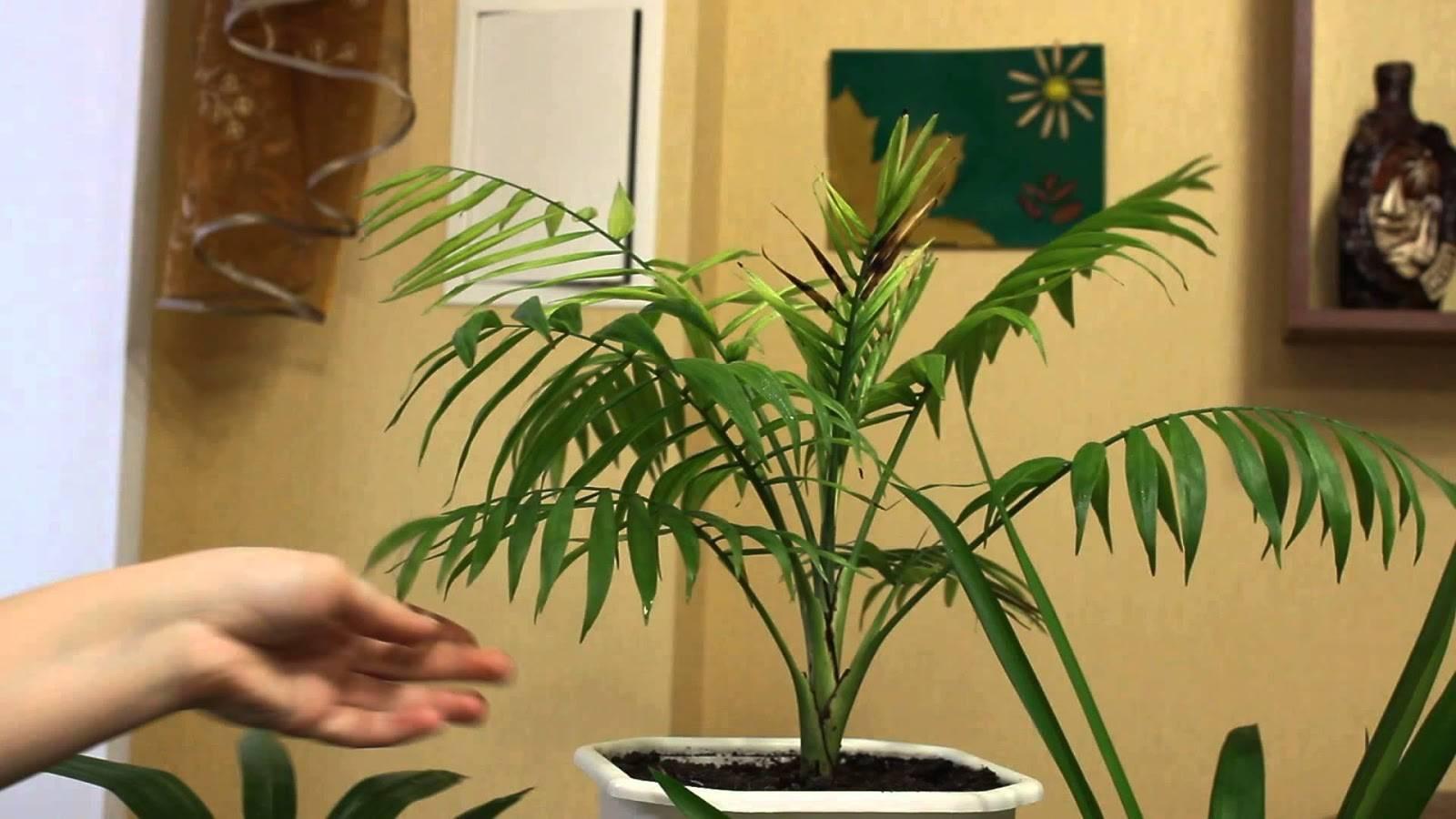 Пальма арека: тропическая экзотика, украшающая интерьер