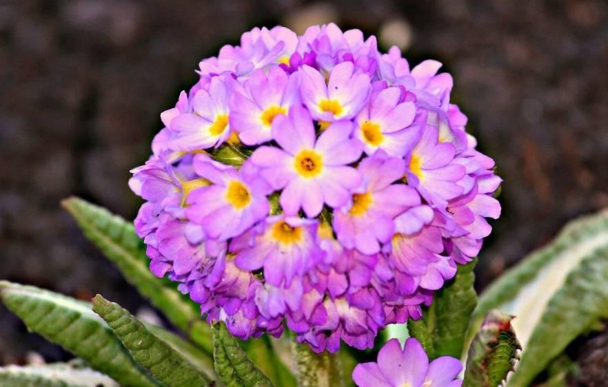 Время цветения георгинов и правила ухода во время цветения: как заставить быстрее