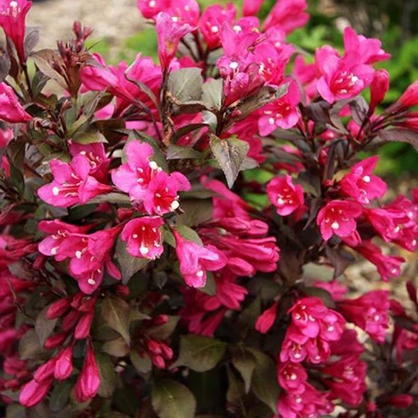 Вейгела кустарник — декоративное цветущее растение для сада