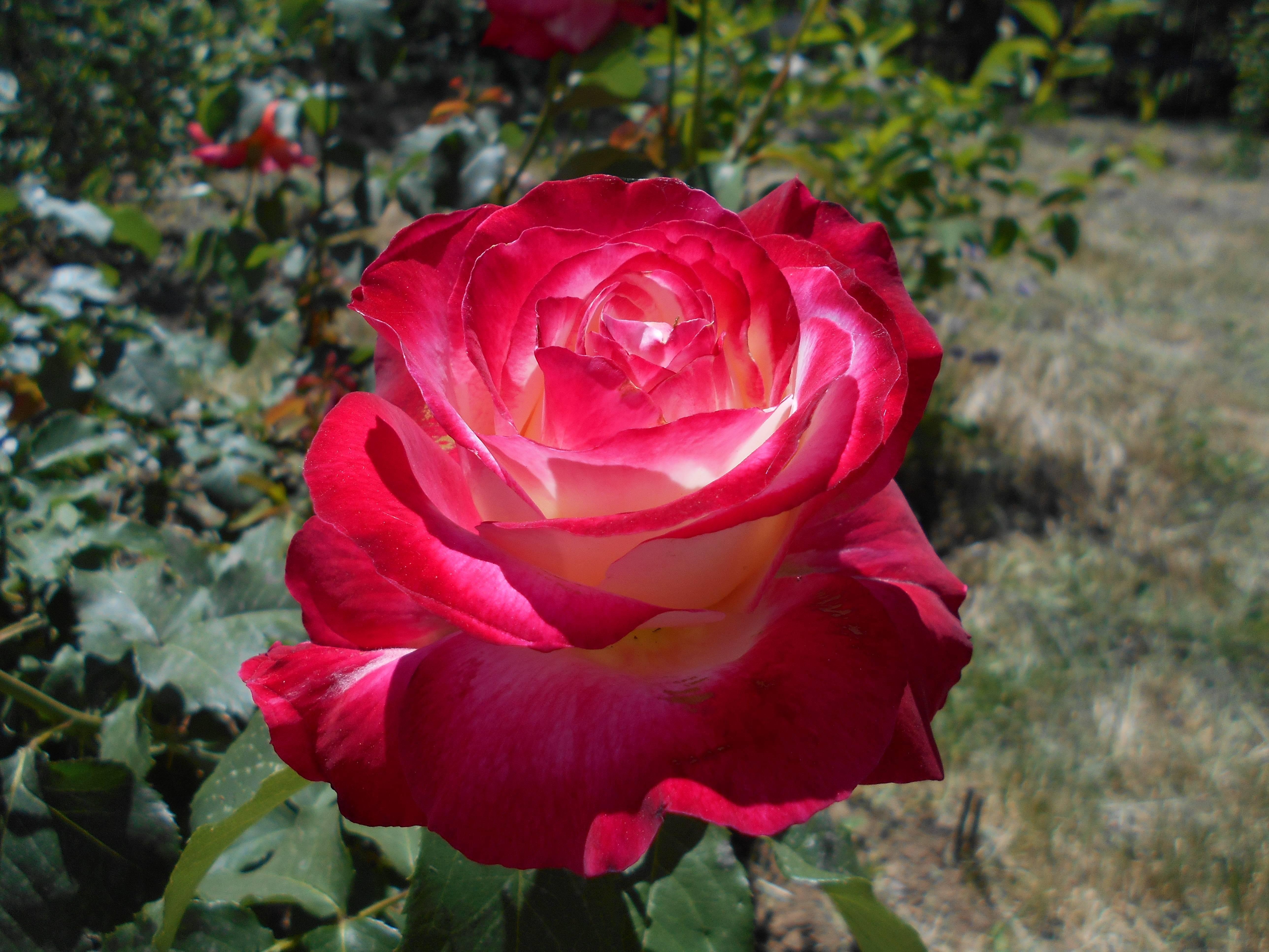 Описание и характеристики английской парковой розы сорта джубили селебрейшн