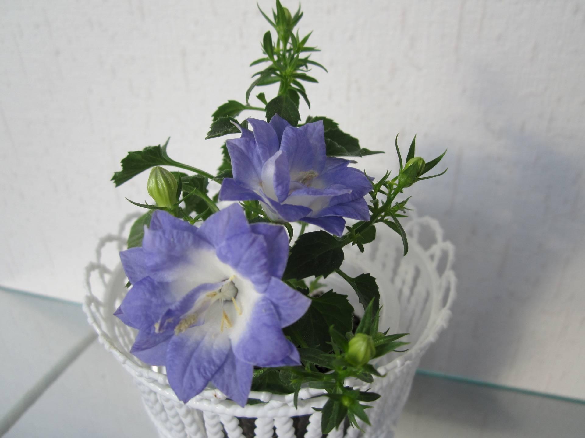 """""""жених и невеста"""": цветок комнатный и уход за ним"""