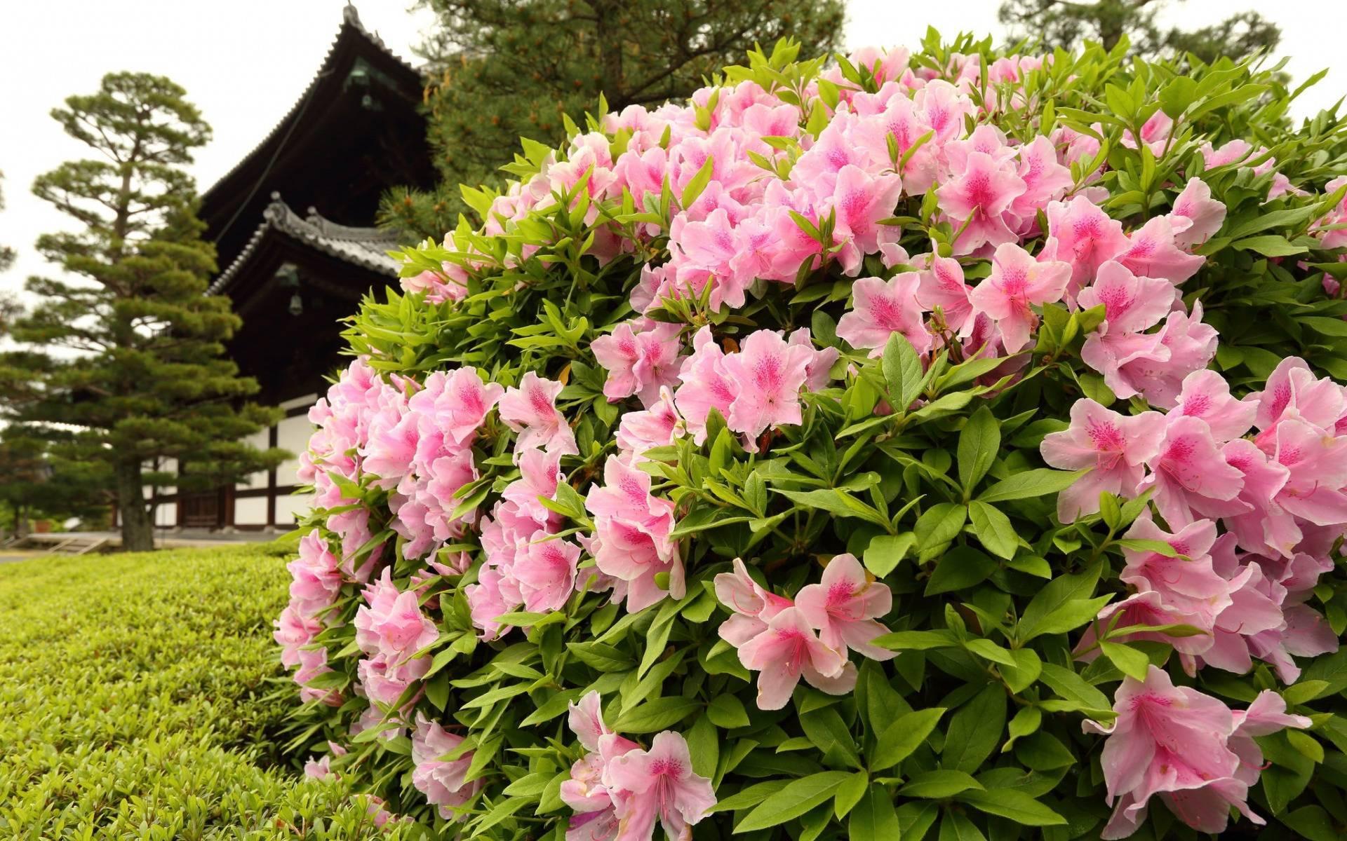 Подробное описание японского рододендрона: правила посадки и ухода