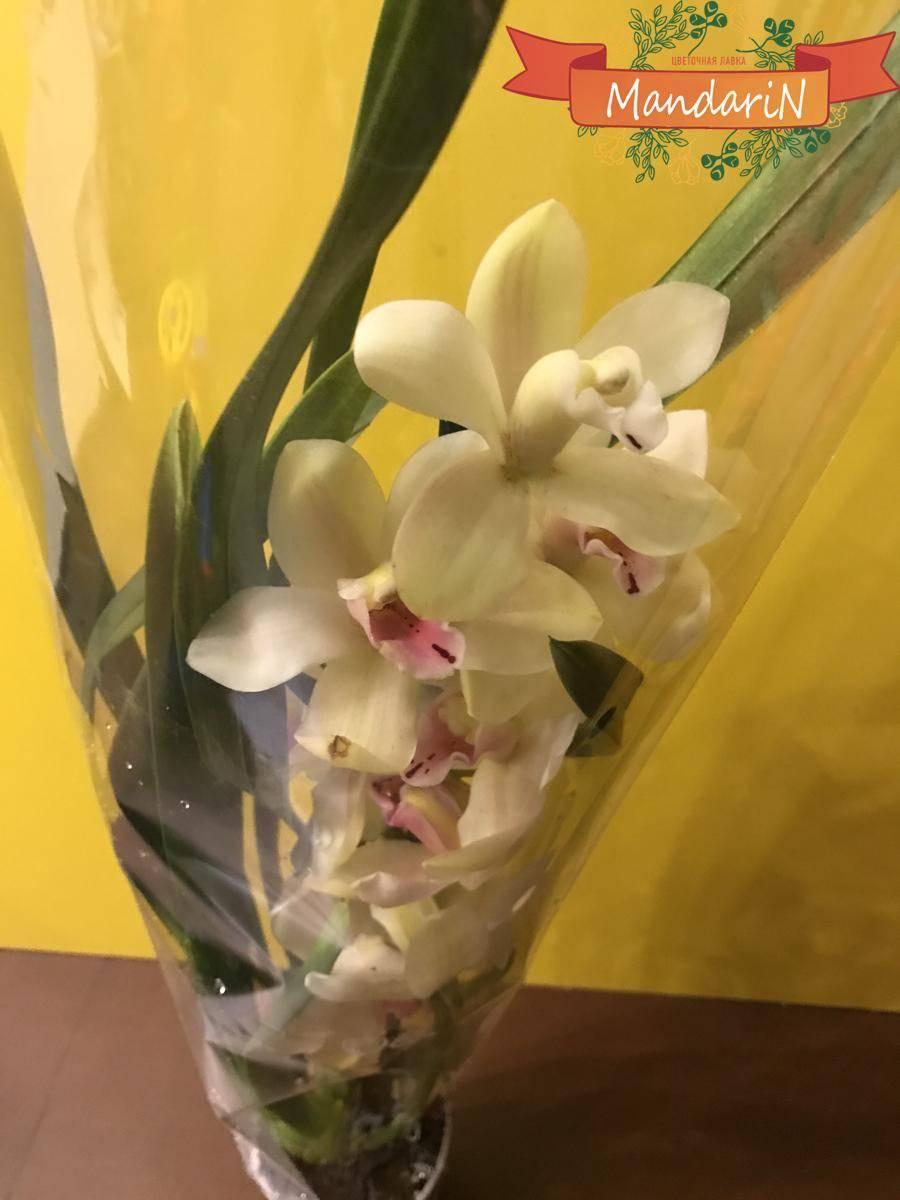 Цимбидиум (54 фото): уход за цветком в домашних условиях. способы размножения, правила пересадки. как заставить орхидею цвести?