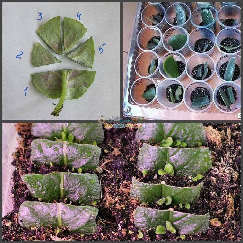Размножение фиалки листом: советы,нюансы, пошаговая инструкция