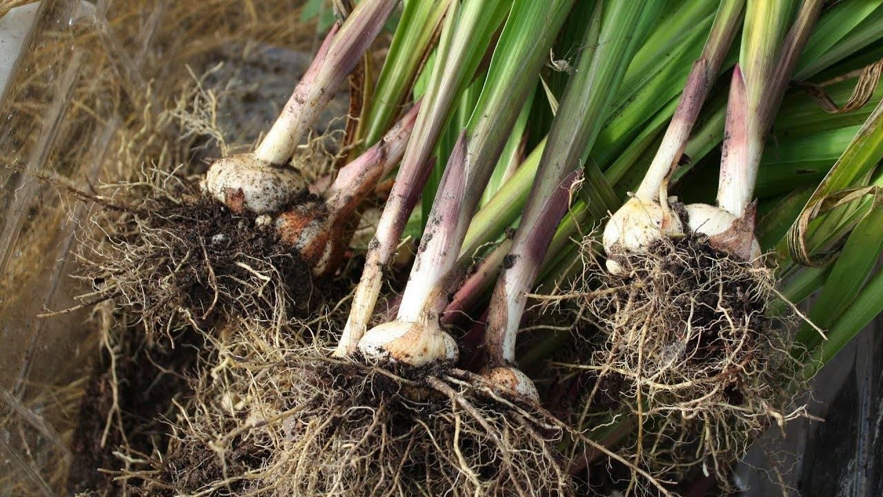 Гладиолусы: как хранить луковицы в домашних условиях зимой