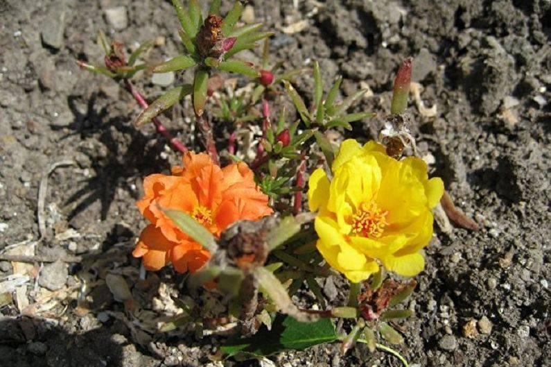 Портулак — яркий цветочный коврик