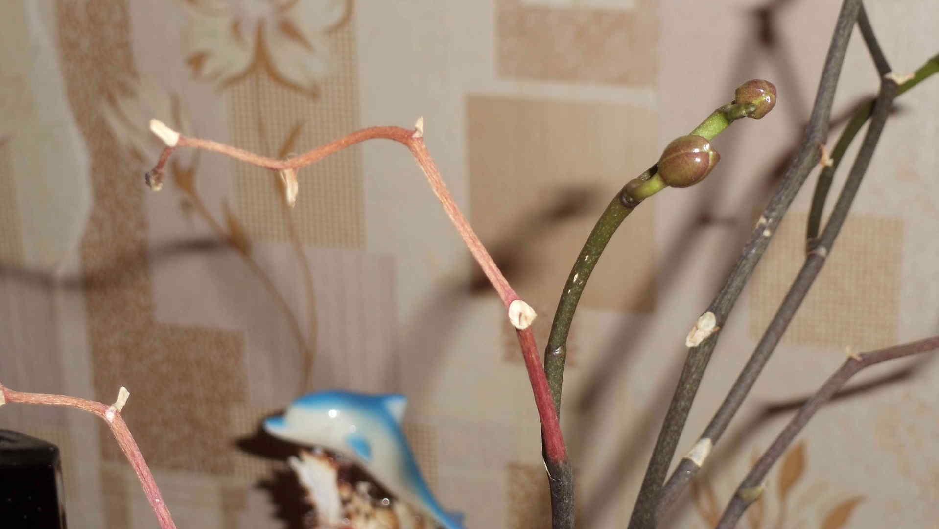 Как обрезать орхидею после цветения: варианты в домашних условиях
