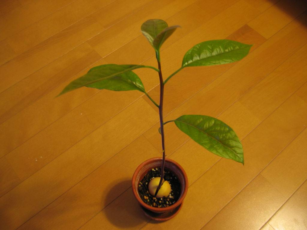 Как вырастить авокадо из косточки дома: условия для проращивания