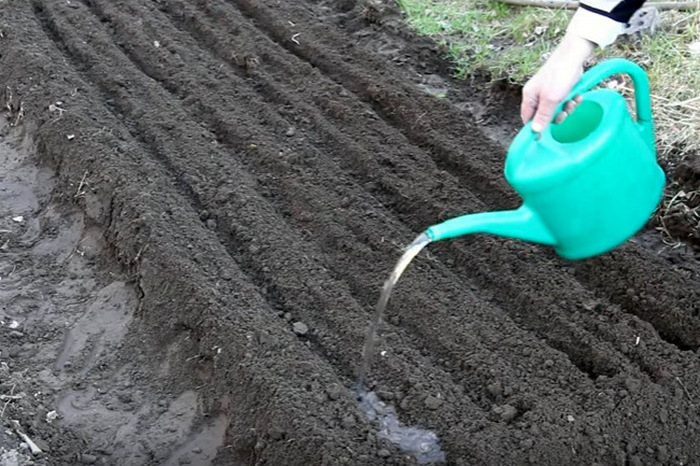 Как посадить и ухаживать за чубушником сноубель в открытом грунте: полив, удобрение