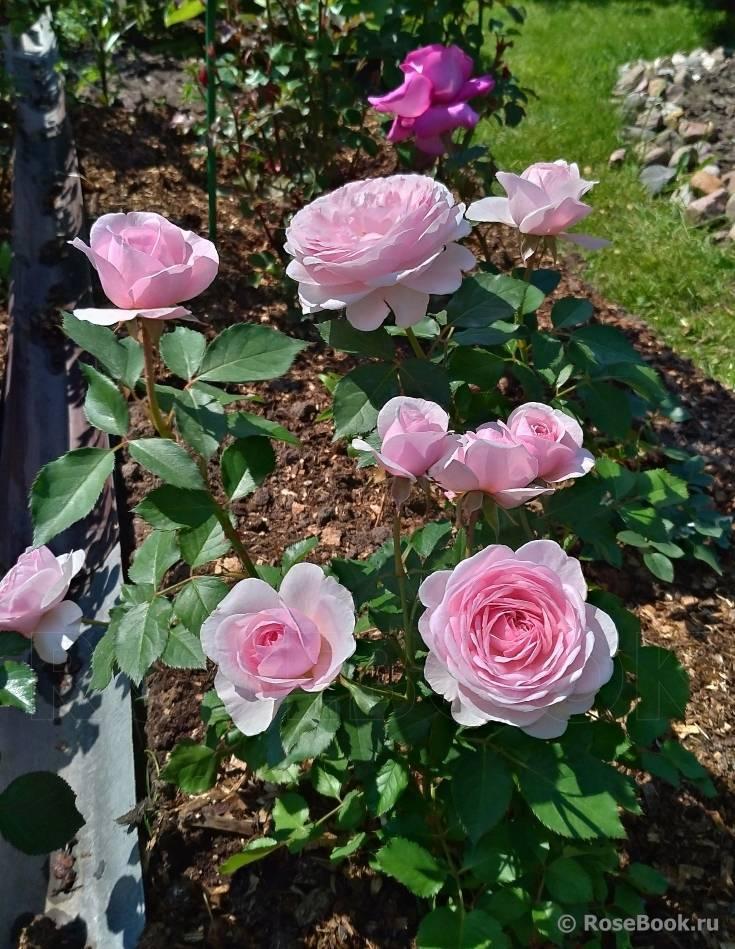Пион джулия роуз (paeonia itoh julia rose)