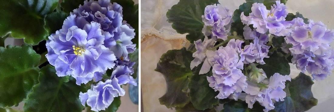 Воплощение красоты или фиалка «голубой туман». уход за растением и фото цветка