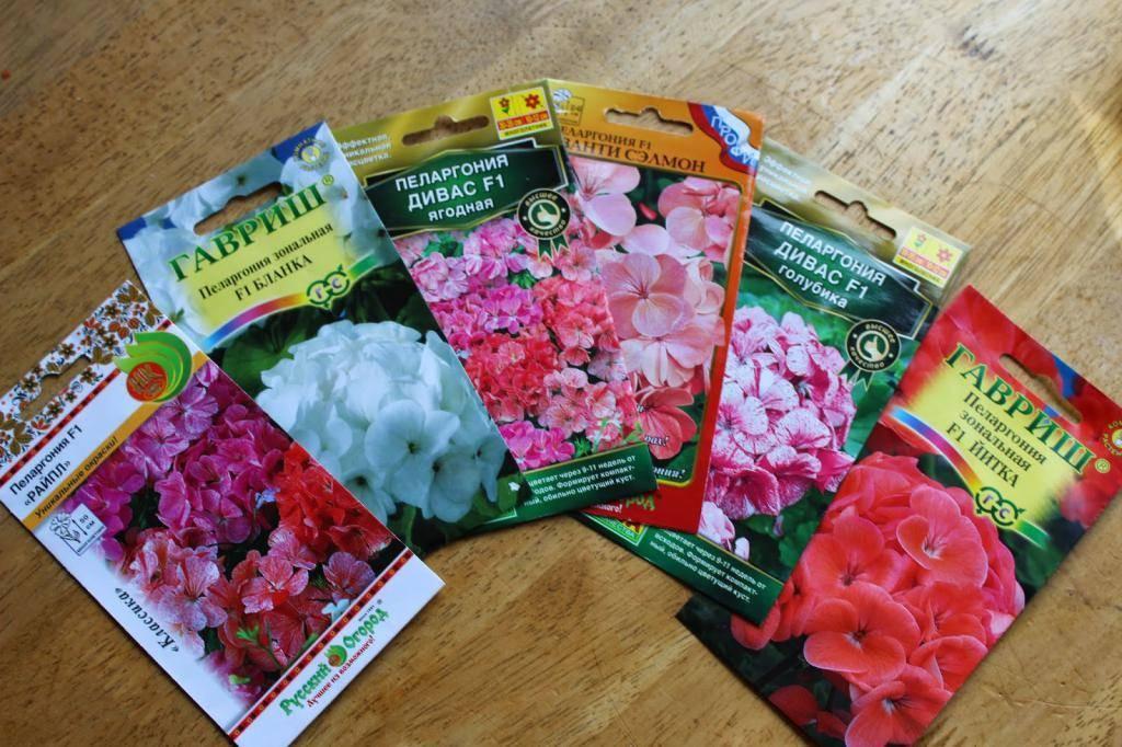 Герань из семян в домашних условиях (31 фото): как выращивать пеларгонию? сроки посадки и уход, посев в торфяные таблетки дома. как вырастить и правильно рассадить рассаду?