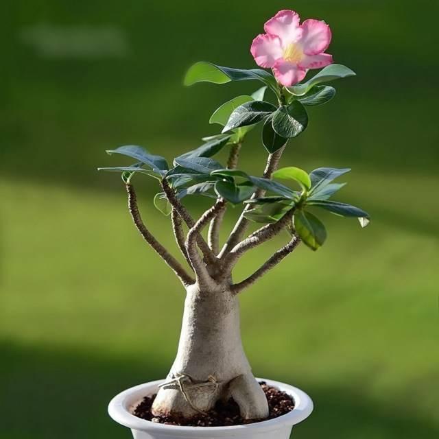 Цветок адениум из семян в домашних условиях