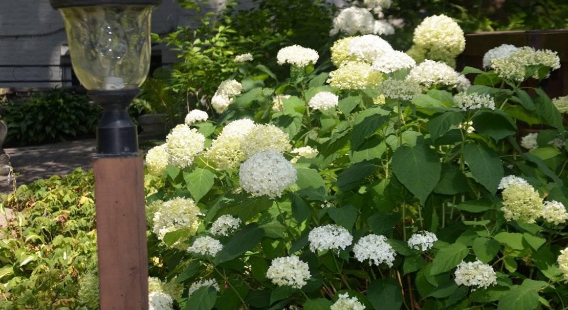 О крупнолистной гортензии ред энджел — особенности сорта, как сажать и ухаживать