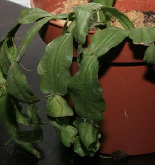 Вянет декабрист: мягкие листья у цветка, в чем причина и что делать? как спасти цветок, если он завял?