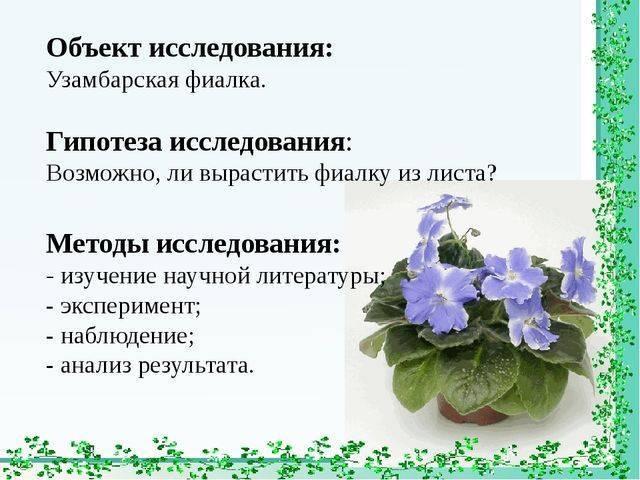 Сенполия или узамбарская фиалка – уход в домашних условиях | образцовая усадьба