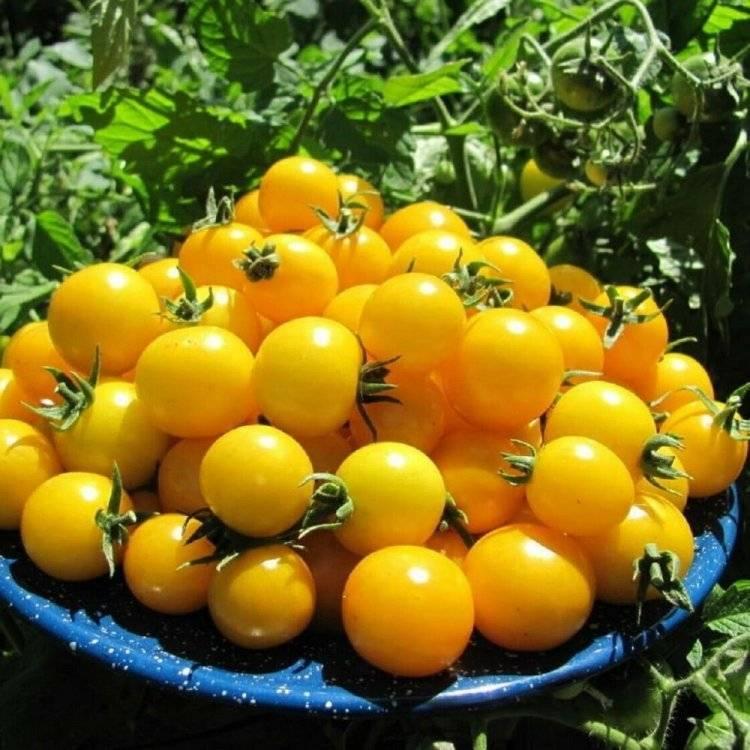Сорта жёлтых и оранжевых томатов с фото и описанием