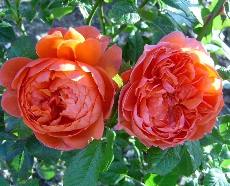 Выращивание парковой розы тизинг джорджия: уход за плетистым сортом кустарника