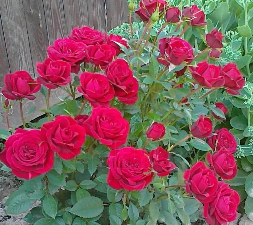 Нюансы ухода за розой кордана микс в домашних условиях