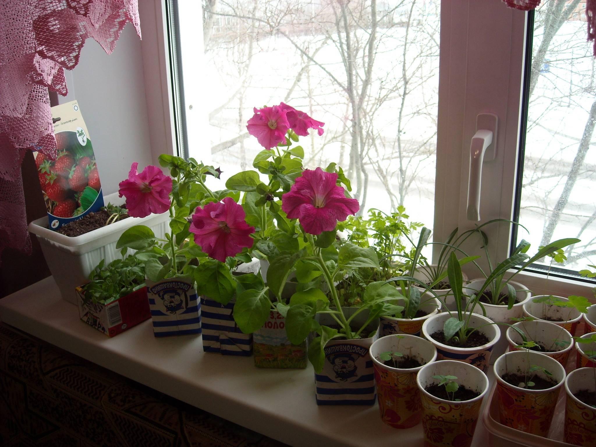 Все о цветах пионов: самые лучшие и красивые разновидности травянистых сортов