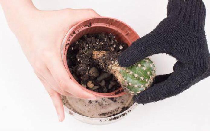 Как посадить кактус чтобы он быстро прижился