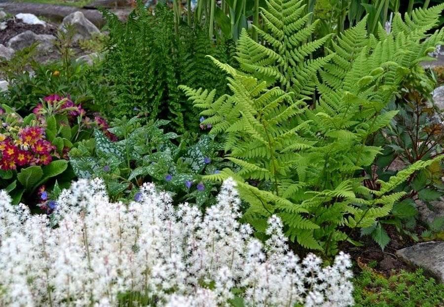 Выращивание и уход за садовым папоротником