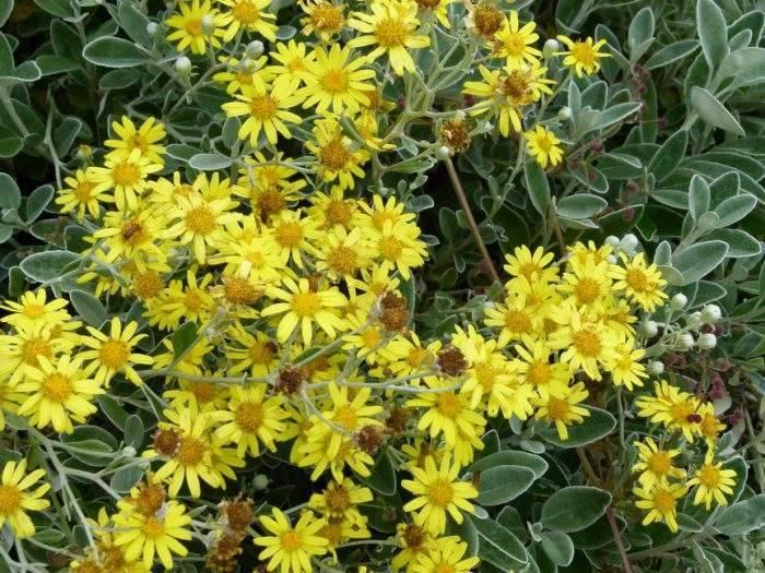 Крестовник или сенецио: выращиваем дома и в саду