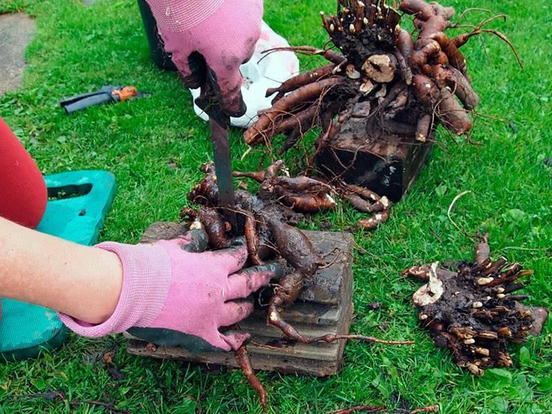 Когда и как правильно пересаживать пионы для отличного роста и цветения