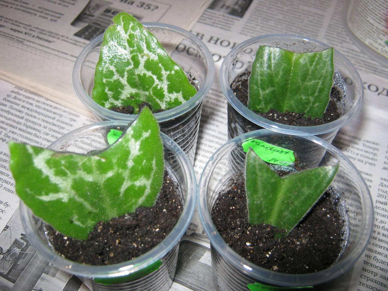 Удивительное растение — хавортия купера трунката: описание суккулента, нюансы выращивания и ухода