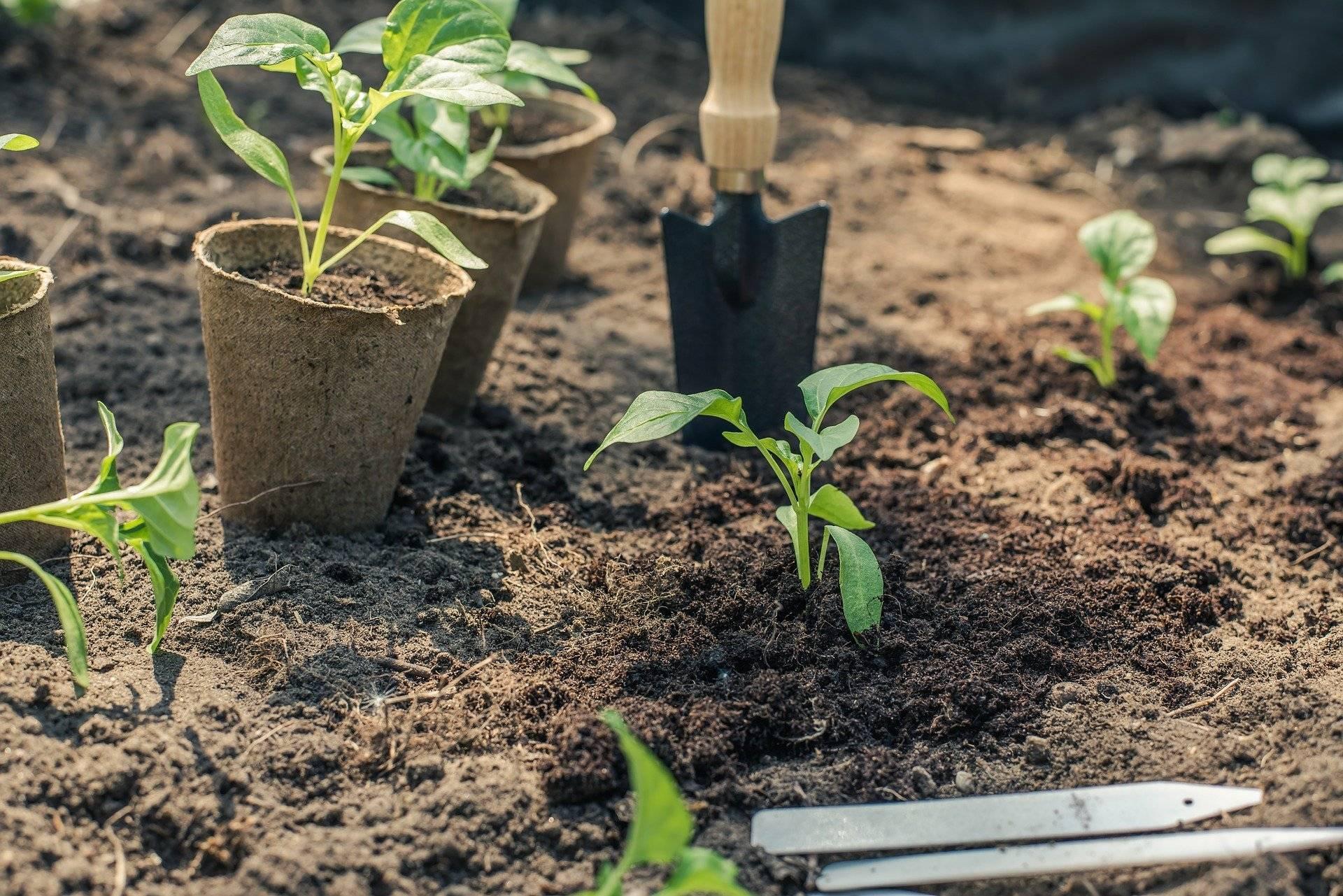 Циния — выращивание и уход в открытом грунте