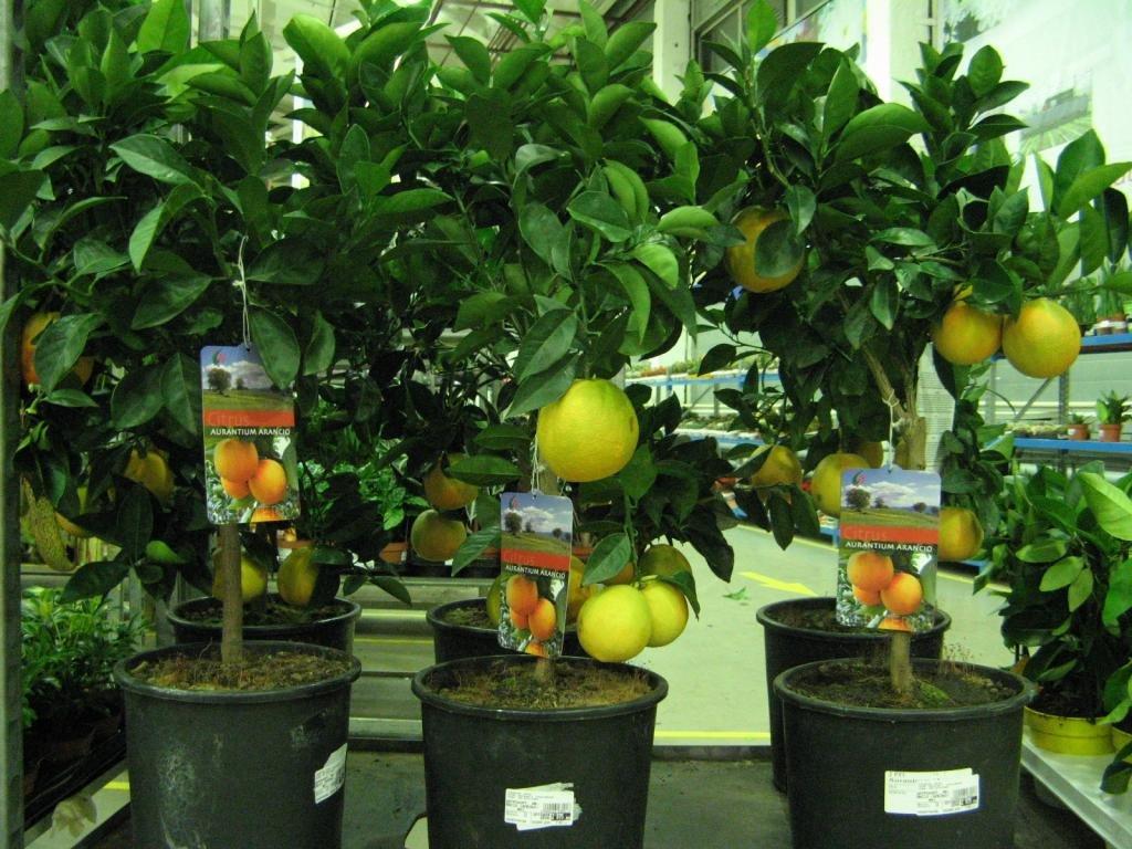 Лимонное дерево — как растет и цветет лимон