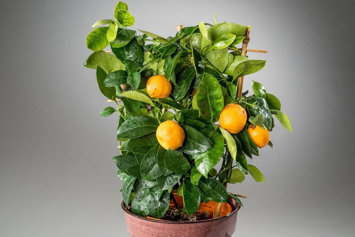 Как ухаживать за каламондином в домашних условиях: когда цветет цитрофортунелла