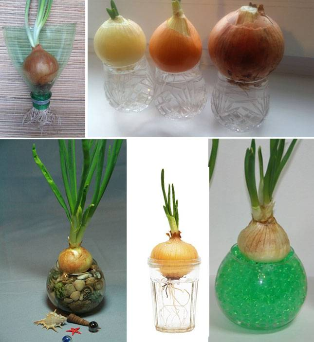 Выращивание индийского лука в домашних условиях: как правильно посадить растение