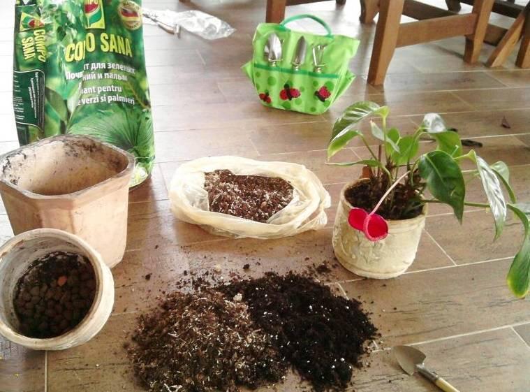Пересадка антуриума в домашних условиях после покупки и плановая: земля, горшок