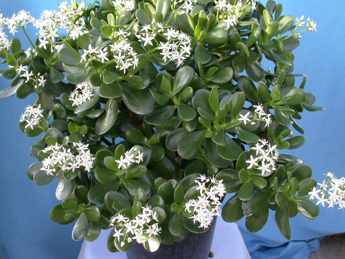 Крассула овата crassula ovata — что за цветок