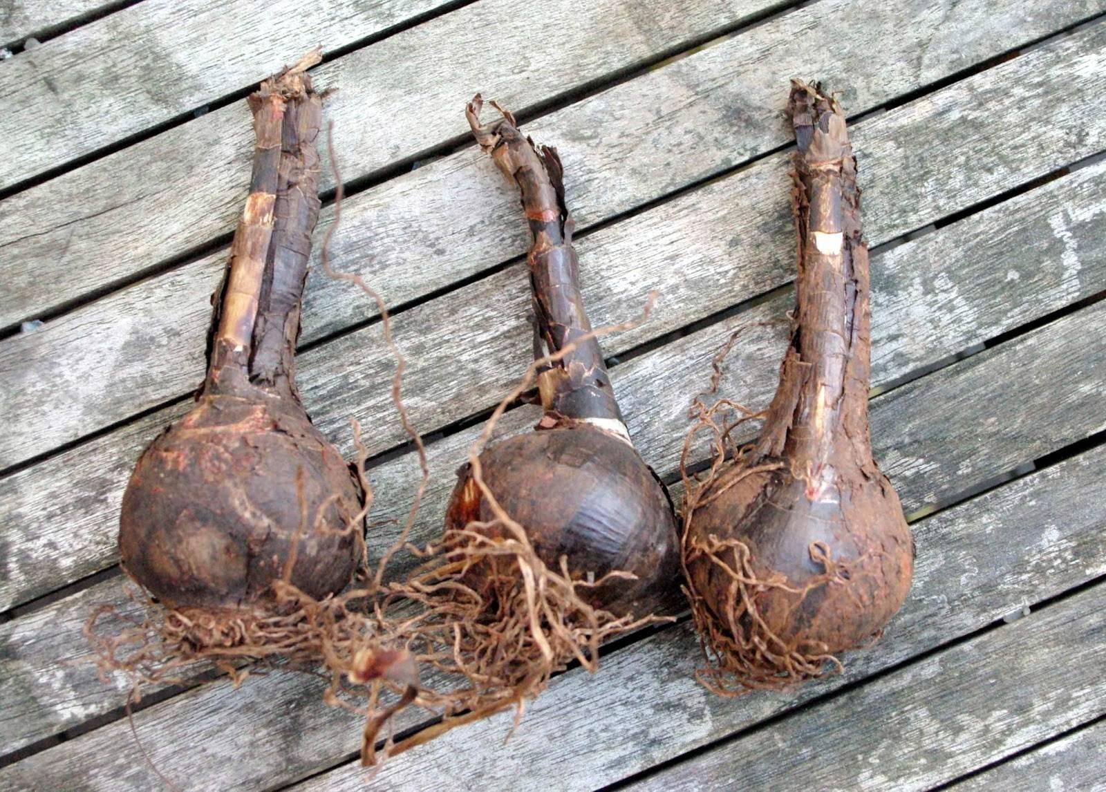 Условия выращивания руэллии: уход, размножение и примеры основных сортов