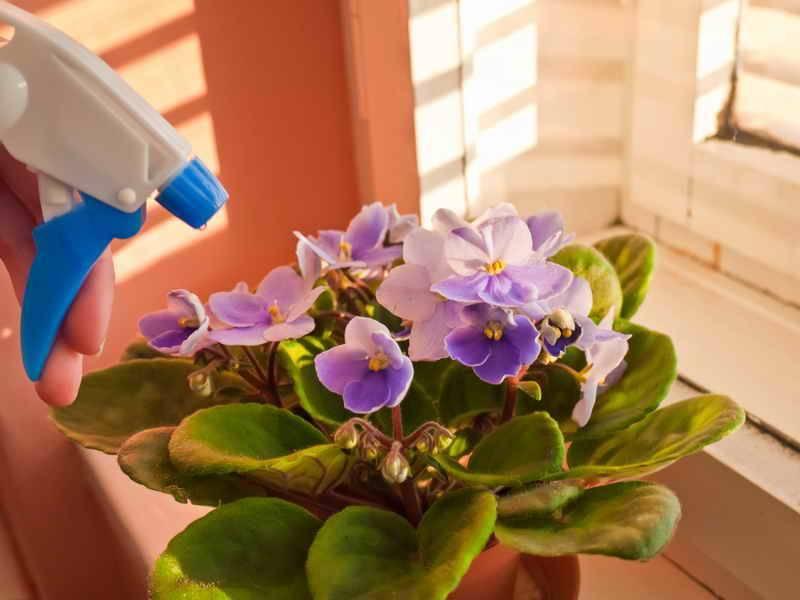 О цветах фиалках, уходе в домашних условиях: что делать чтобы обильно цвела
