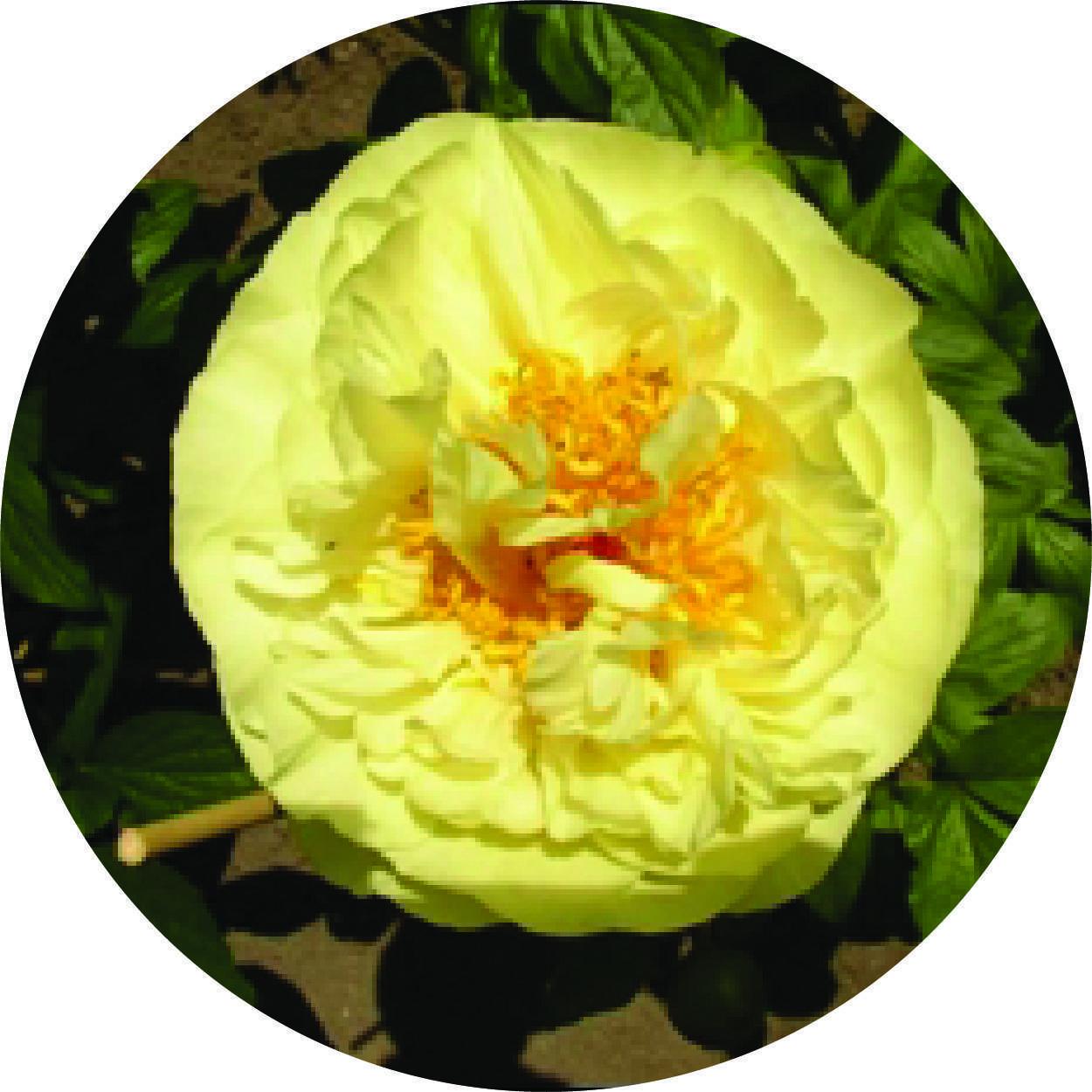 Пион лемон шиффон (paeonia lemon chiffon)