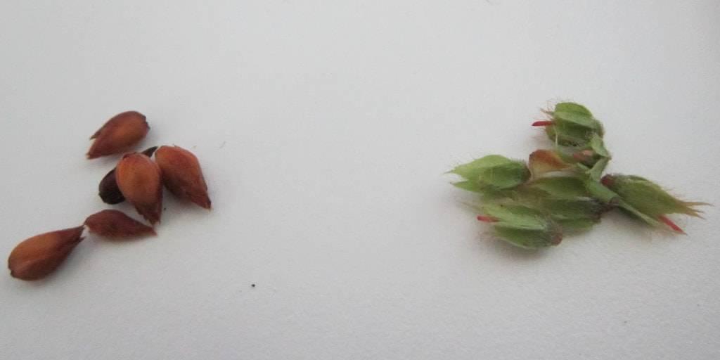 Выращивание рододендрона комнатного в домашних условиях