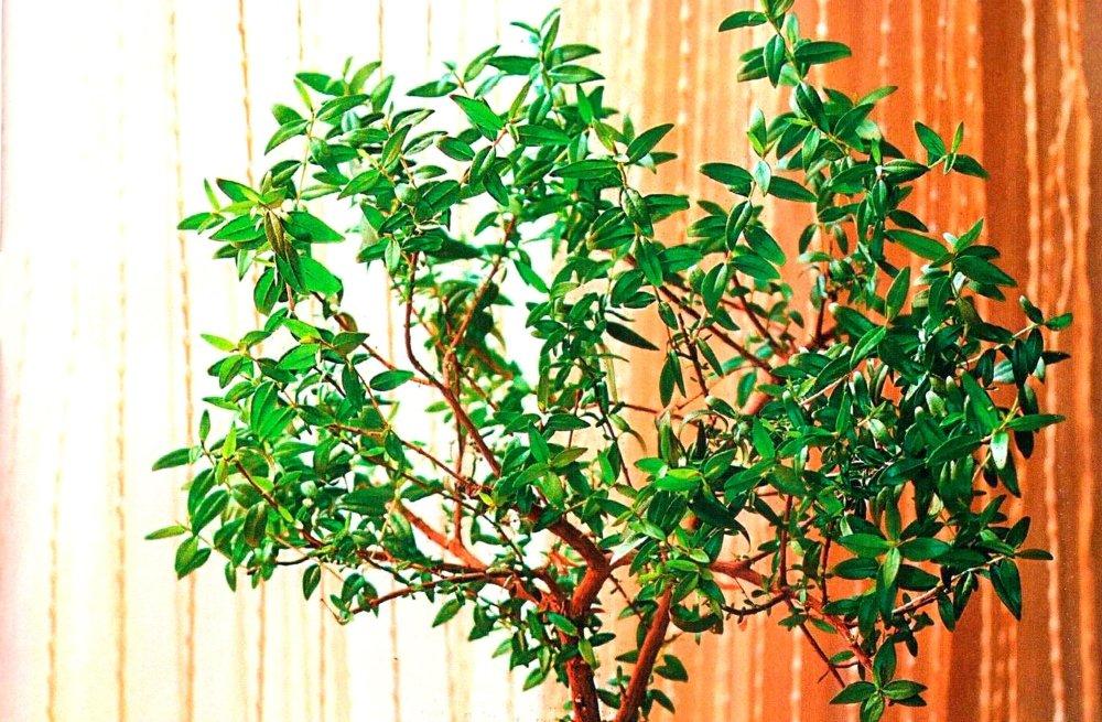 Фрукт фейхоа: это дерево или кустарник, как растет и как цветет в природе