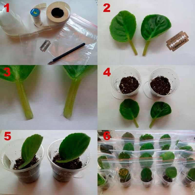 Как размножить фиалку листом в домашних условиях
