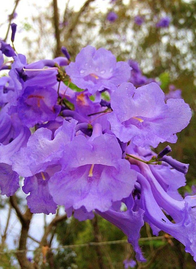 Жакаранда, или палисандровое дерево