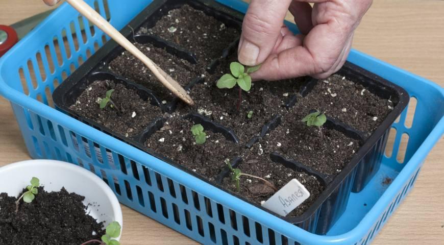 О комнатном цветке годеции, выращивании из семян: описание с инструкциями