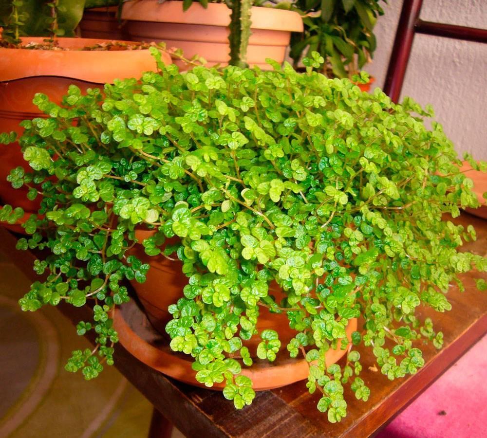 Солейролия или гелксина: уход в домашних условиях, размножение цветка черенками и семенами, фото