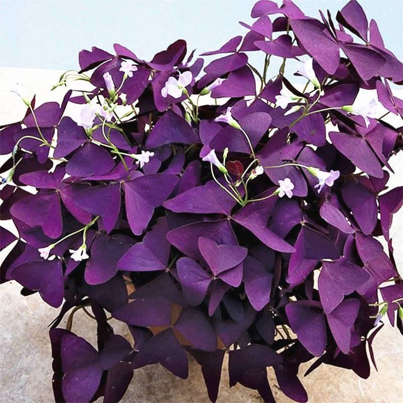 Как называются комнатные цветы с фиолетовым листом, с фиолетовыми цветками