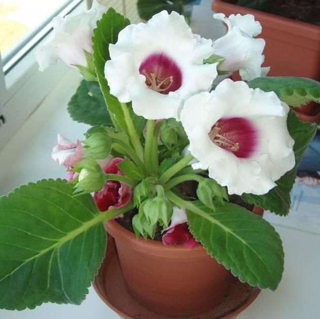 Когда убирать глоксинию на покой: в какое время растение уходит на зимовку и как правильно отправить его на отдых?