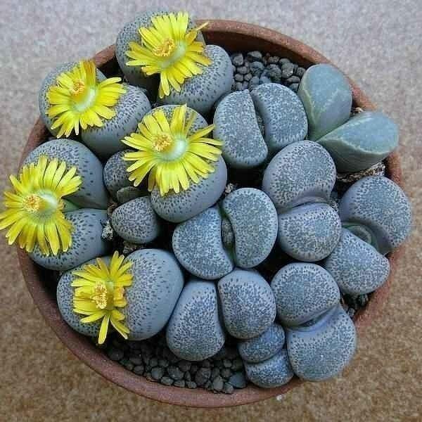 Литопсы (53 фото): виды и размножение «живых камней», уход за цветами в домашних условиях, растение литопс микс