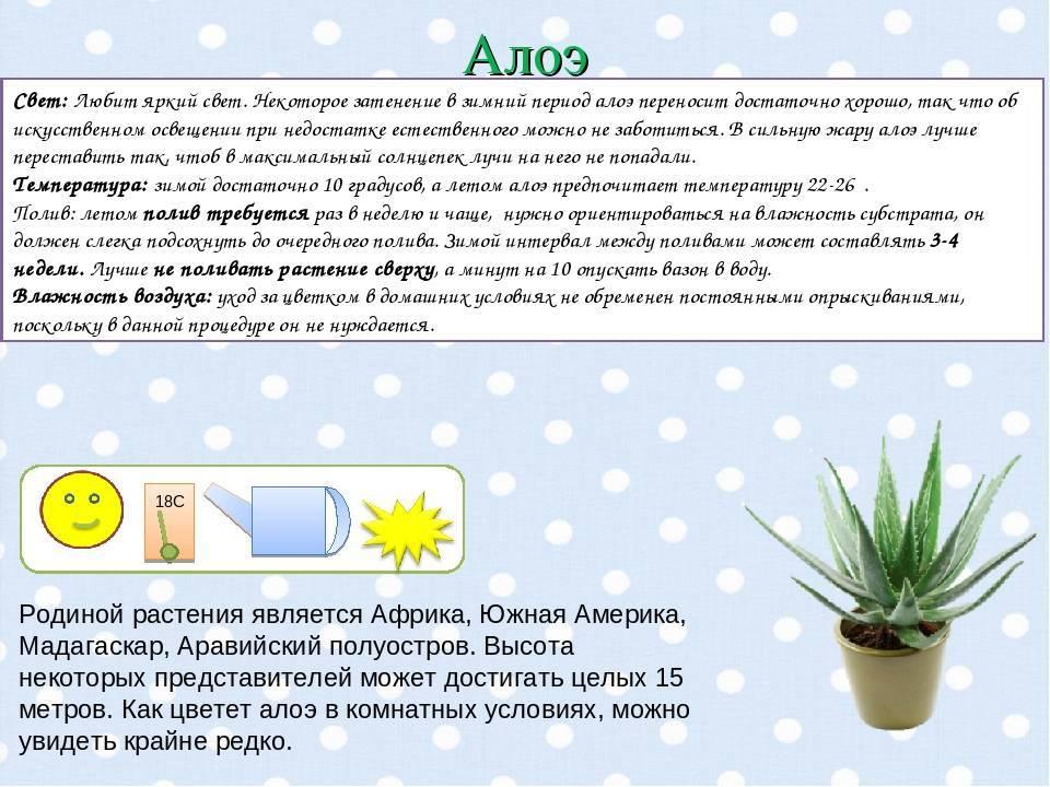 Цветок кордилина: уход в домашних условиях