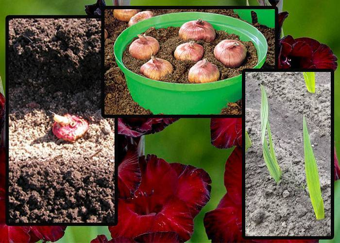 Правильный уход за гладиолусами: как и когда высаживать луковицы в открытый грунт