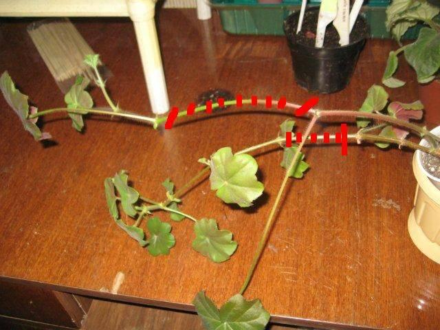 Как прищипывать герань, чтобы она росла гуще?